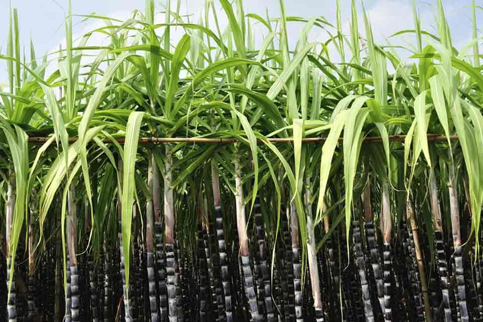sockerrör romproduktion